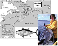 Image showing the migration route of one Bluefin Tuna over a two year period along with a woman tagging a tuna.