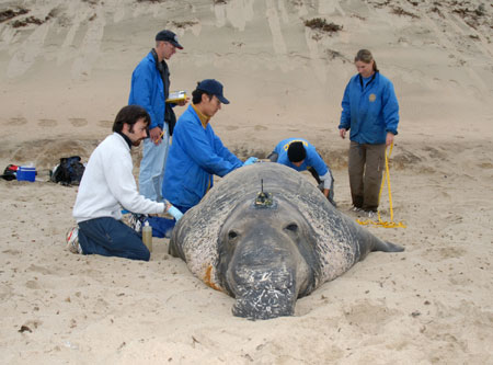 Five members of the field team put a tag on a sedated male elephant seal. The work requires special permits to ensure the animal's protection.